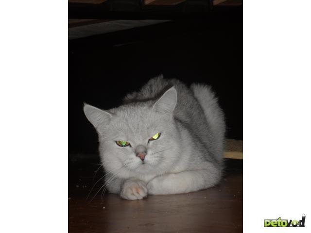 Продаю:  кота Британской короткошерстной породы фото2