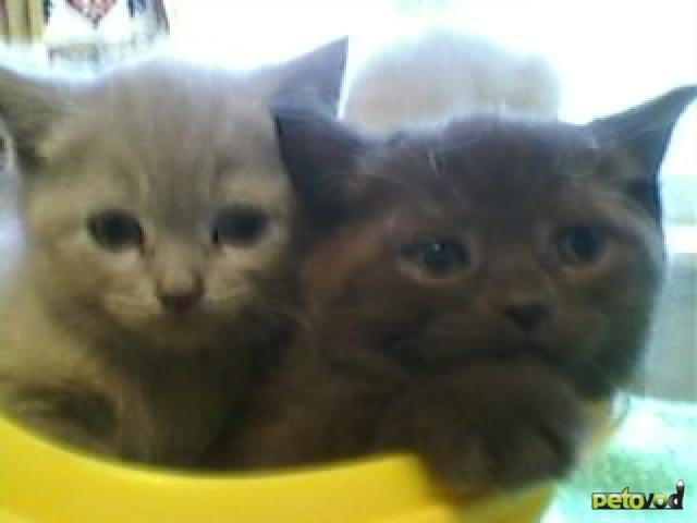 Продаю: котята британцы страйт девочки и мальчики