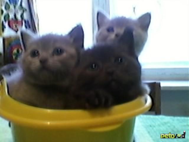 Продаю: котята британцы страйт девочки и мальчики  фото2