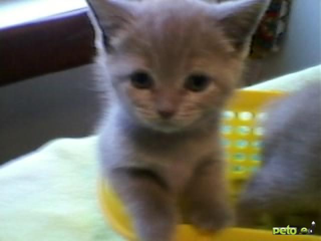 Продаю: котята британцы страйт девочки и мальчики  фото3