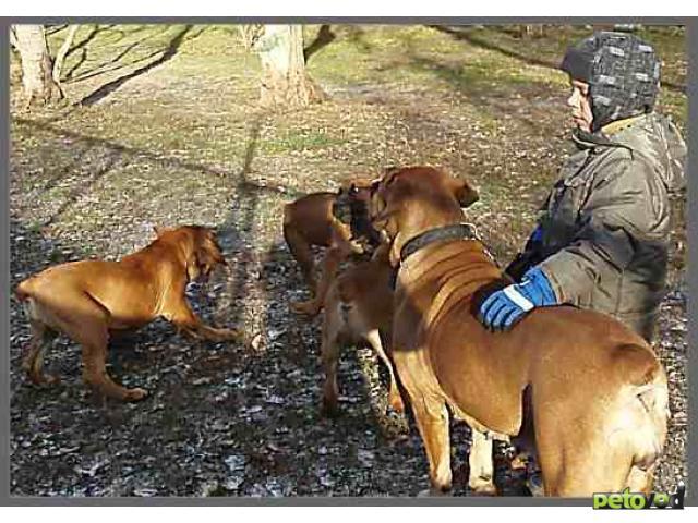 Продаю: Южноафриканский бурбуль щенки фото2
