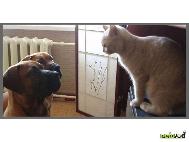 Продаю: Южноафриканский бурбуль щенки фото3