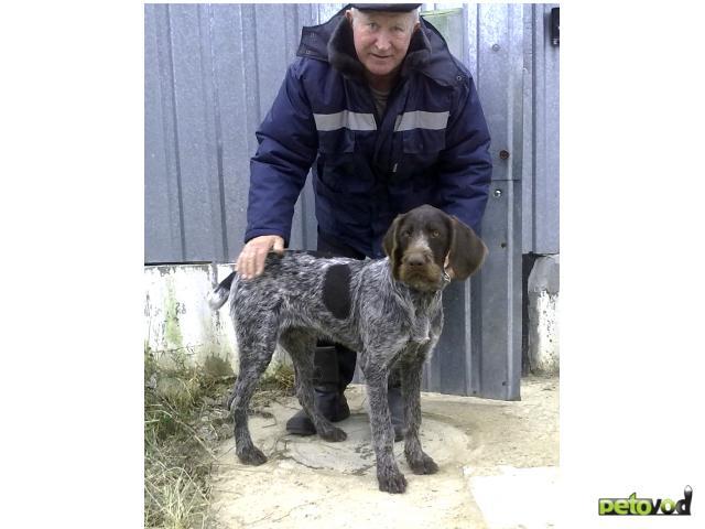 Продаю: Продаётся щенок Дратхаара (кобель)