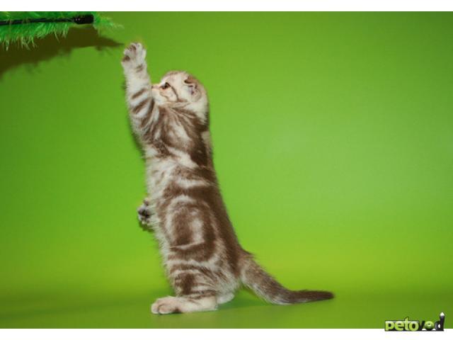 Продаю: Шотландский вислоухий котенок фото2