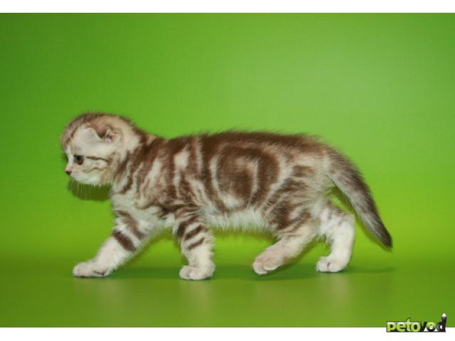 Продаю: Шотландский вислоухий котенок фото3