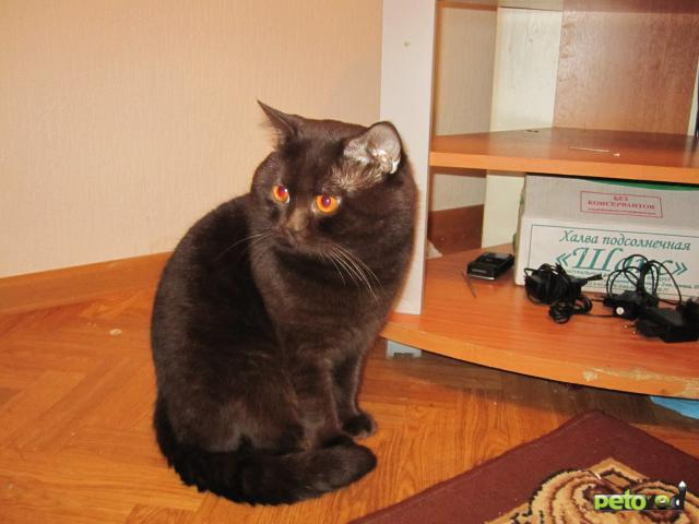 Вязка: Британский кот для вязки
