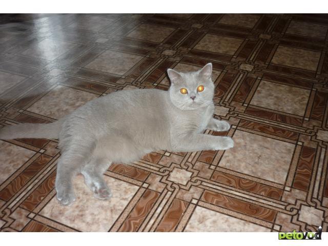 Отдам в дар: Отдам в хорошие руки кота-британца