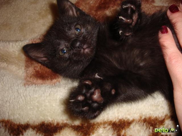 Продаю: британские котятки фото2