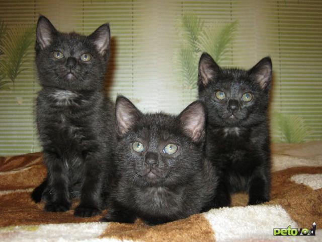 Продаю: британские котятки фото3