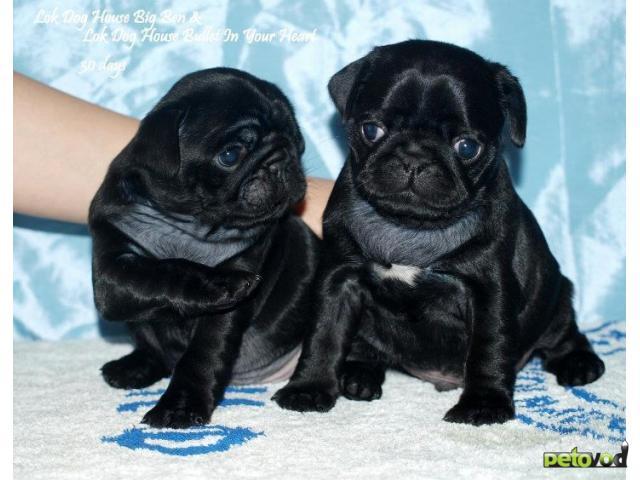 Продаю: МОПСА черного щенки