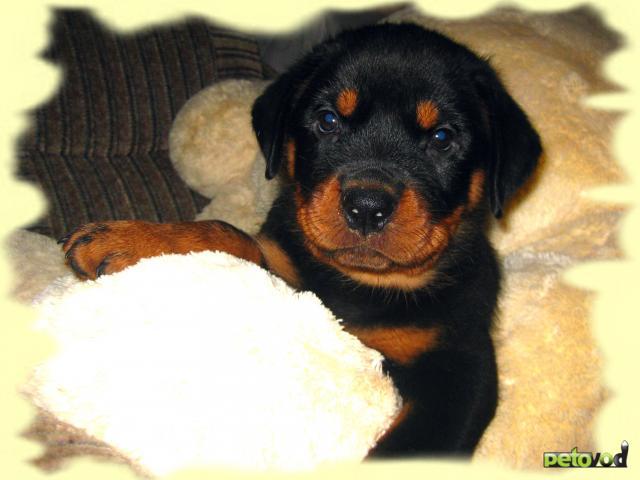 Продаю: Клубные щенки ротвейлера фото2