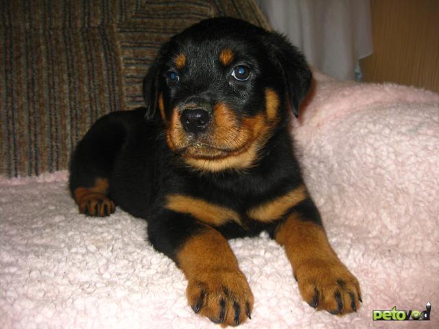 Продаю: Клубные щенки ротвейлера фото3