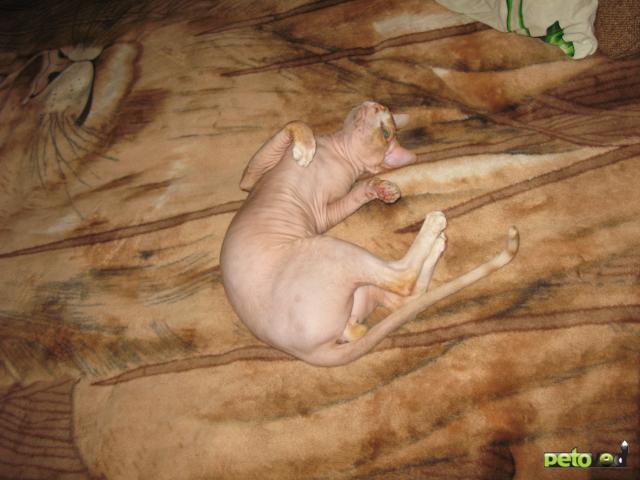 Вязка: Канадский сфинкс предлагается для вязки фото3