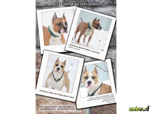 Продаю: Американский стаффордширский терьер щенки фото2