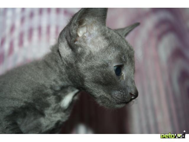Продаю: корниш-рекс котята