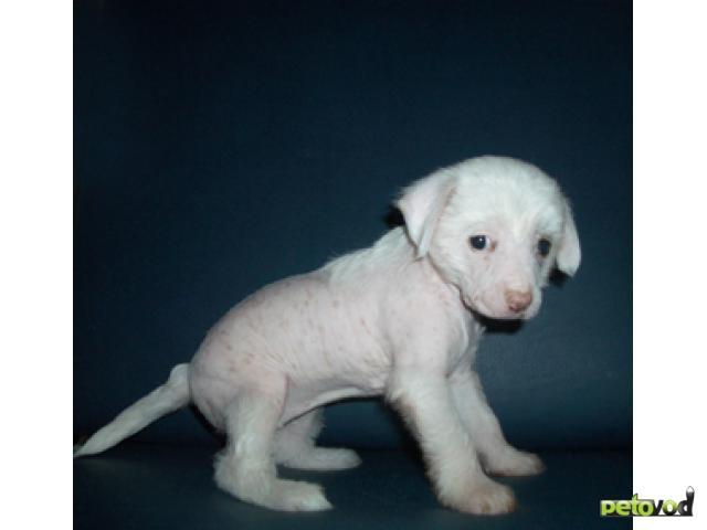 Продаю: Китайская хохлатая щенки