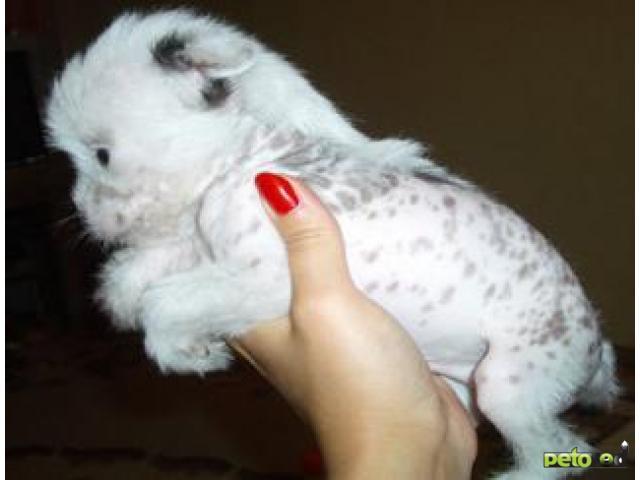 Продаю: Китайская хохлатая щенки фото3