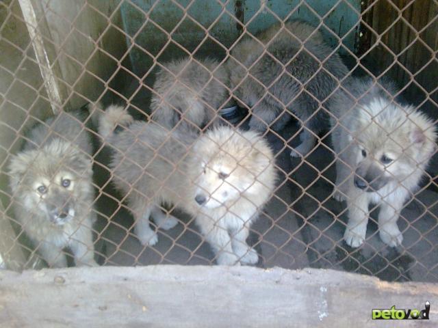 Продаю:  щенков кавказской овчарки