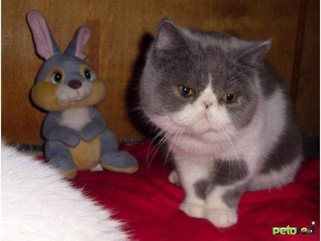 Продаю: Котята экзотические и персидские