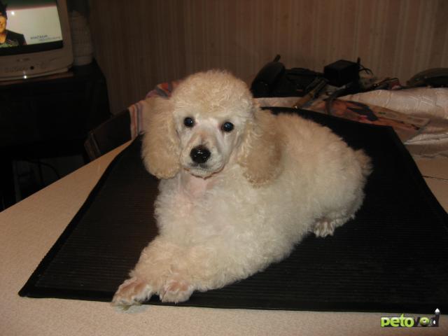Продаю: щенки малого пуделя фото2