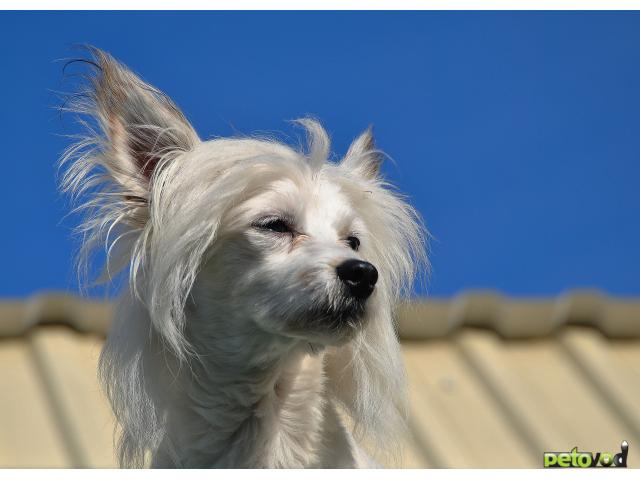 Отдам в дар: Отдам собаку породы китайская хохлатая