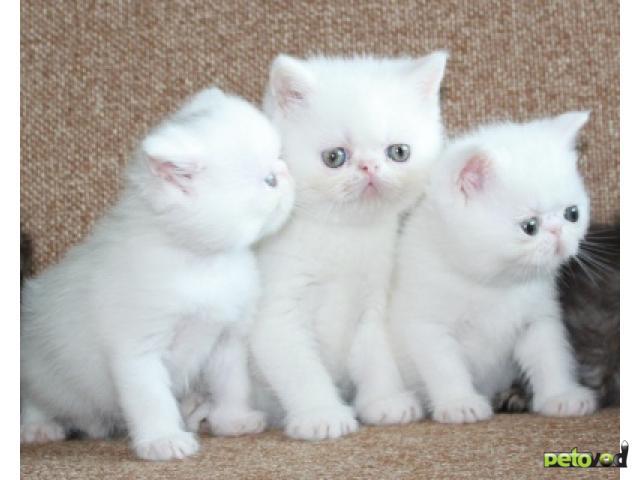 Продаю: Экзотические котятки