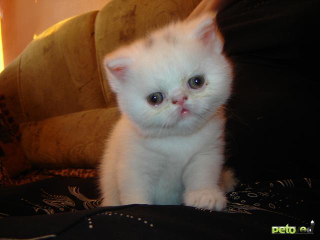 Продаю: Экзотические котятки фото2