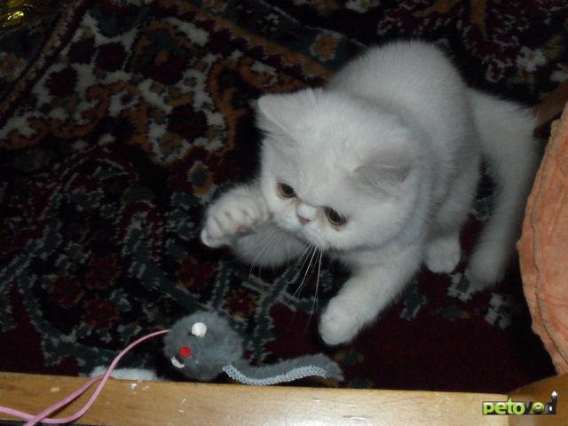 Продаю: Экзотические котятки фото3
