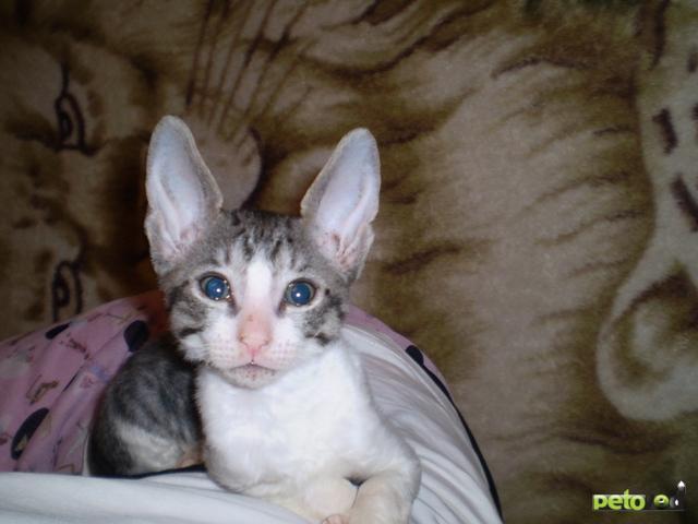 Продаю:  котенка породы корниш-рекс