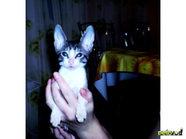 Продаю:  котенка породы корниш-рекс фото2