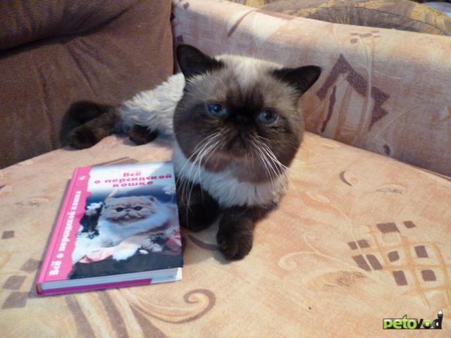 Отдам в дар: отдам в хорошие руки персидского котика