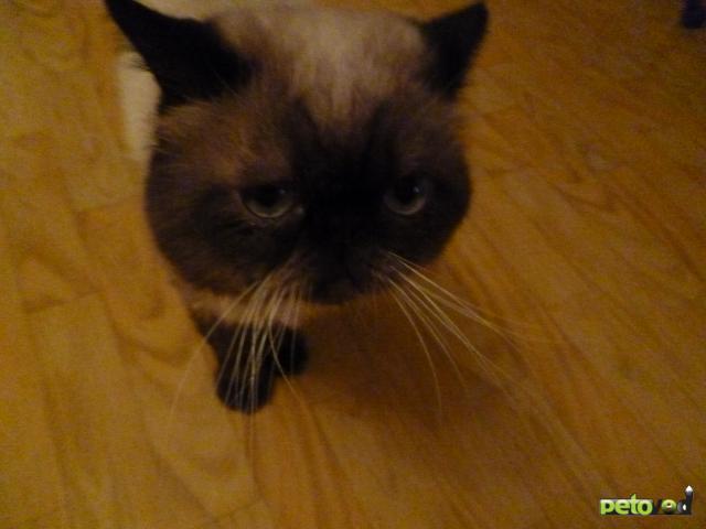 Отдам в дар: отдам в хорошие руки персидского котика фото2