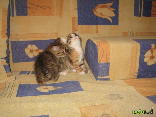 Отдам в дар: Отдадим в добрые руки милых котят фото2