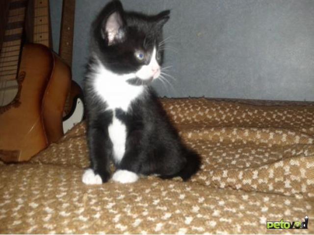 Отдам в дар: Отдаю чёрно-белого котёнка даром фото3