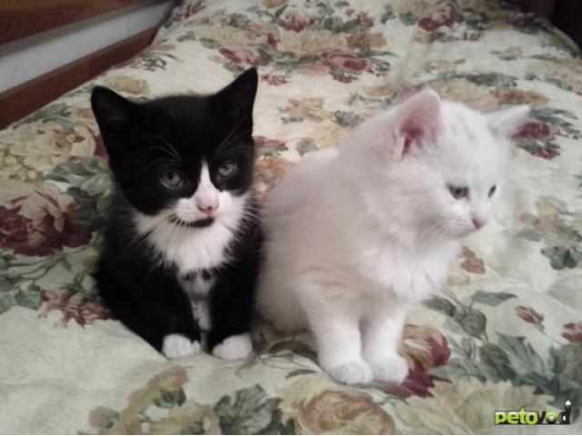 Отдам в дар: Отдаю чёрно-белого котёнка даром фото2