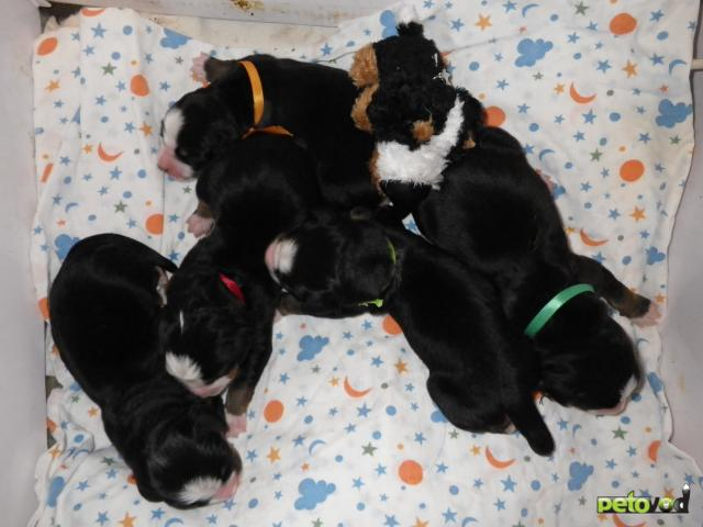 Продаю: щенки бернского зенненхунда фото3