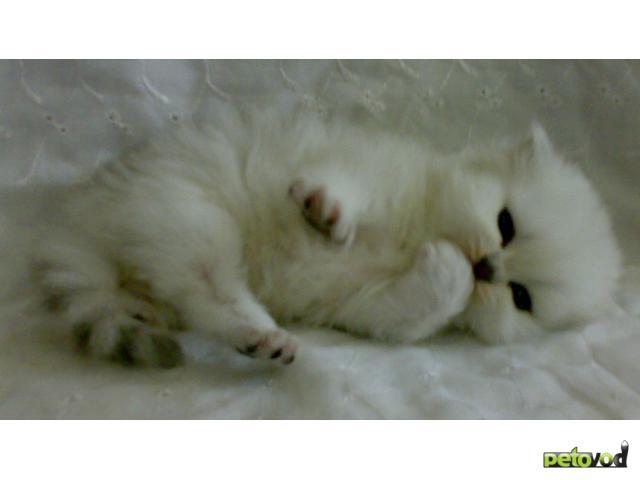 Продаю: Резервируем котят персидской шиншиллы