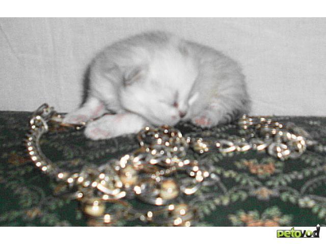 Продаю: Резервируем котят персидской шиншиллы фото3