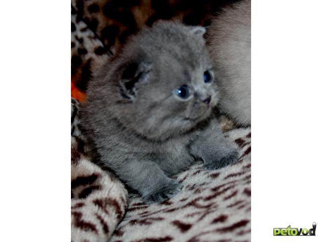 Продаю: Вислоухие шотландские и британские котята
