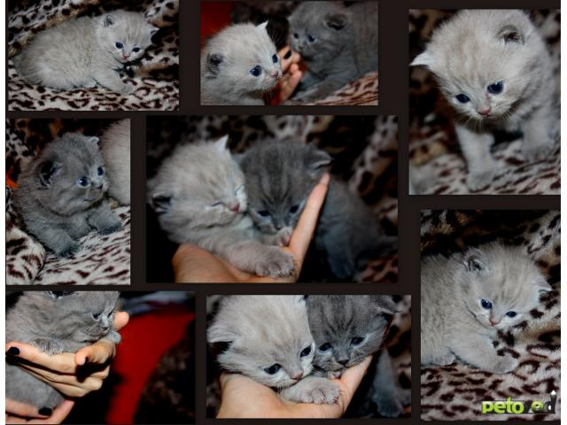 Продаю: Вислоухие шотландские и британские котята фото2