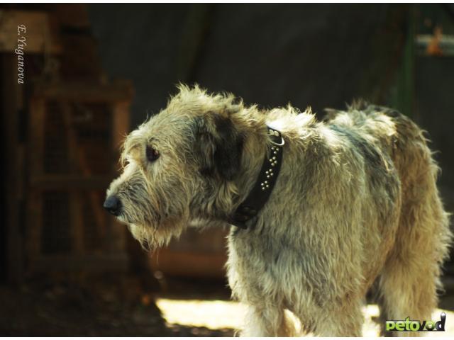 Продаю: щенки ирландского волкодава