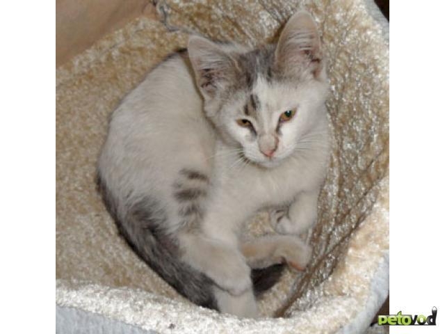 Отдам в дар: Замечательный белый котенок ищет хозяина фото2