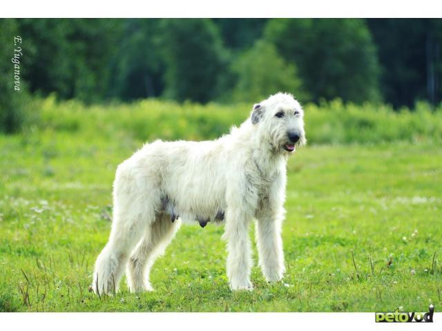 Продаю: щенки ирландского волкодава фото2