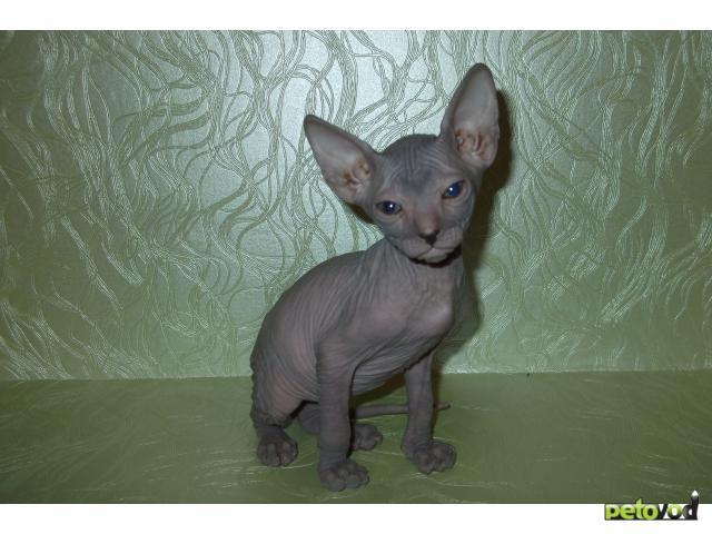 Продаю: СФИНКС - котята