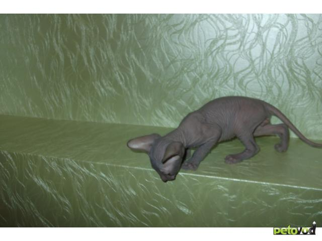 Продаю: СФИНКС - котята фото3