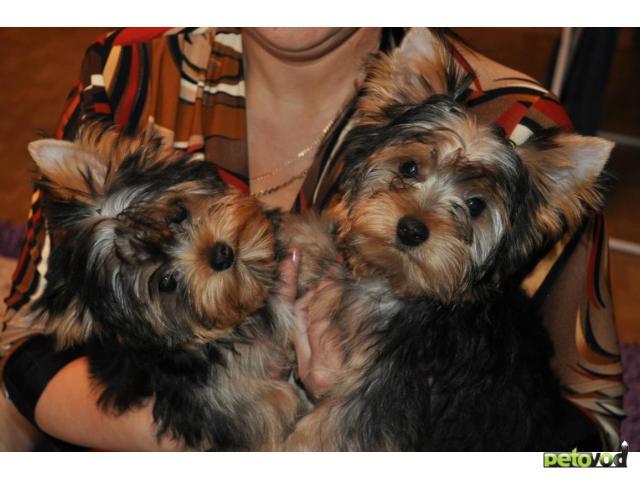 Продаю: клубные щенки йоркширского терьера фото3