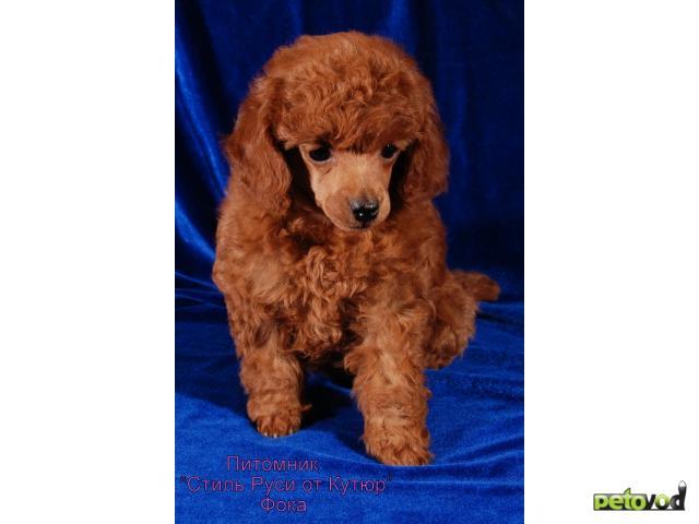 Продаю: щенок той пуделя фото3