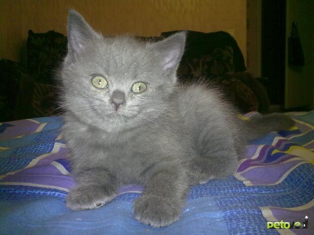 Продаю: Шотландские котята фото2