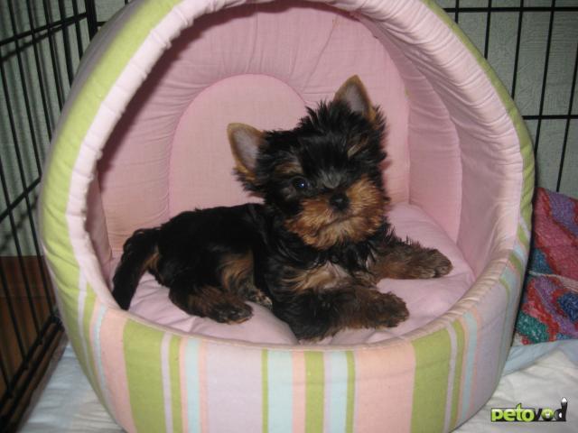 Продаю:  щенка йоркширского терьера фото2