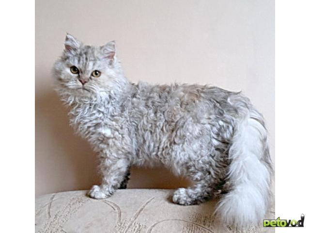 Продаю: Котята селкирк рекс (кошки-овечки)